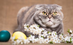 Picture cat, cat, look, flowers, sprig, background, holiday, eggs, spring, Easter, evil, yellow eyes, painted, Scottish, …