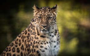 Picture nature, predator, leopard, bokeh