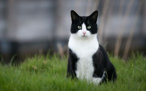 Picture cat, grass, cat, black and white