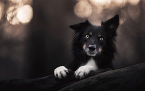 Picture look, face, the dark background, portrait, dog, paws, puppy, black, log, bokeh, the border collie