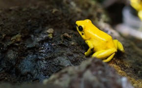 Picture frog, moss, moisture, yellow frog