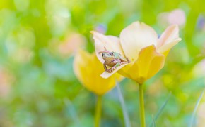 Picture flower, macro, yellow, green, background, Tulip, frog, blur, spring, bokeh