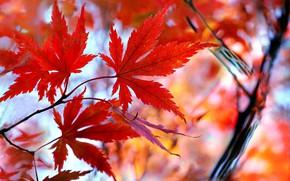 Picture autumn, leaves, maple, the crimson