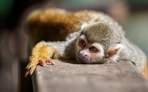 Picture look, pose, monkey, monkey, squirrel monkeys, squirrel monkey