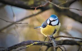 Picture branches, nature, bird, bokeh, tit, blue tit