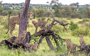 Picture predators, family, cheetahs