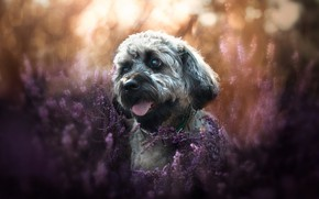Picture dog, face, Heather, The Tibetan Terrier