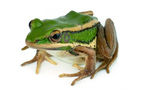 Picture frog, white background, green frog