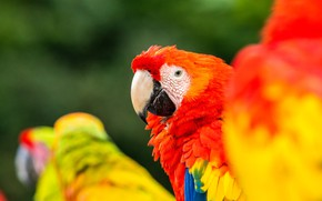 Picture birds, background, red, parrots, Ara