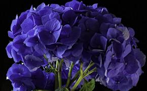 Picture background, hydrangea, the color purple