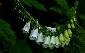 Picture leaves, flowers, the dark background, white, fern, inflorescence, digitalis