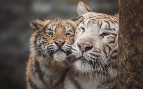 Picture tiger, portrait, baby, pair, white, weasel, tigers, mom, tigress, tiger, muzzle