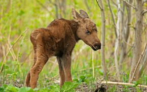 Picture nature, baby, moose