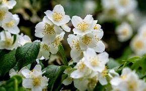 Picture white, Bush, Jasmine