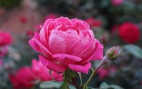 Picture Pink, Flower, Rose, Petals, Bud