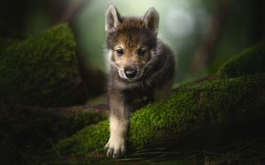 Picture look, paw, moss, puppy, face, The tamaskan dog
