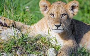 Picture grass, look, face, portrait, paws, lies, lion