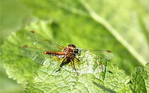 Picture macro, nature, dragonfly