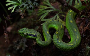 Picture nature, snake, green, reptile