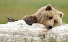 Picture face, bear, log
