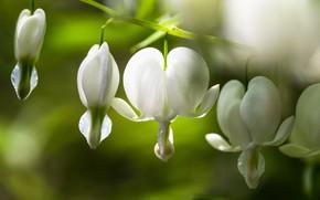 Picture light, flowers, branch, white, bokeh, broken heart, the bleeding heart