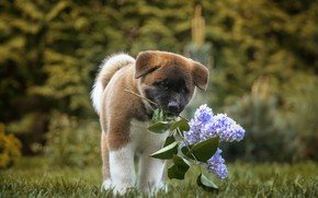 Picture dog, puppy, lilac, bokeh, American Akita, branch of lilac