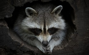 Picture look, face, pose, the dark background, raccoon, log, the hollow
