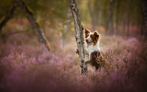 Picture tree, glade, dog, Heather, The border collie