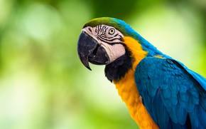 Picture look, blue, yellow, green, background, bird, portrait, parrot, bokeh, Ara