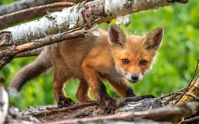 Wallpaper branches, nature, green, background, tree, small, muzzle, Fox, red, bark, Fox, Fox, Fox, baby