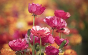 Picture pink, Ranunculus, Buttercup