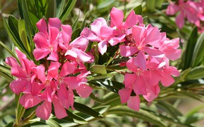 Picture branches, pink, oleander