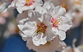 Picture macro, flowering, flowers, Almonds