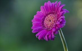 Picture flower, flower, pink, gerbera, gerbera