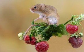 Picture berries, background, mouse, strawberry, rodent, The mouse is tiny, Harvest mouse