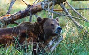 Picture forest, grass, face, branches, bear, bear, snag, brown