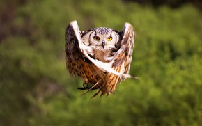 Picture background, owl, flight