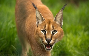 Picture language, grass, look, face, pose, portrait, mouth, lynx, sneaks, Caracal