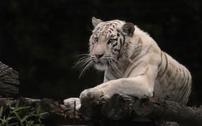 Picture tiger, white tiger, wild cat, the dark background