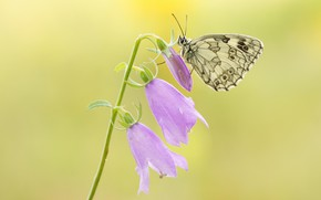 Picture summer, macro, flowers, background, butterfly, stem, insect, pink, bells