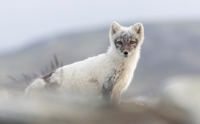 Picture look, nature, Fox, white with grey