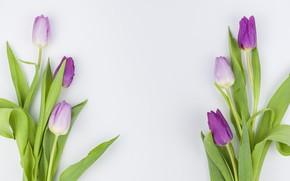 Picture flowers, purple, tulips, flowers, beautiful, tulips, spring, purple