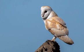 Picture owl, bird, blue background, the barn owl