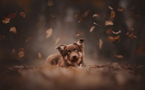 Picture autumn, look, leaves, dog, face, bokeh, doggie