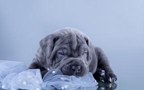 Picture animal, dog, puppy, cub, cane Corso, Anna Oris