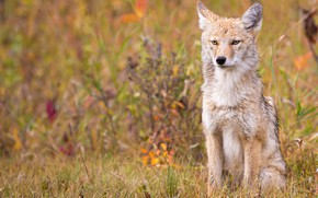 Picture autumn, grass, pose, vegetation, wolf, sitting, coyote