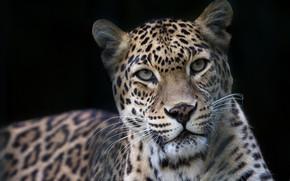 Picture look, face, portrait, leopard, wild cat, black background