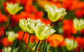Picture light, flowers, spring, yellow, tulips, red, buds