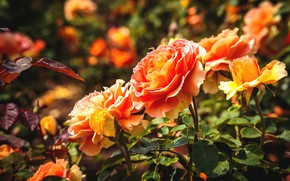 Picture flowers, background, orange roses