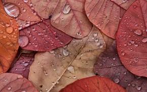 Picture autumn, leaves, drops, macro, nature